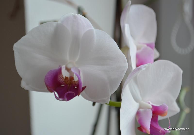 Škůdci na orchidejích