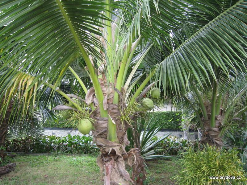 Thajsko – 15.díl – kokosové palmy